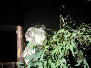 Koala bear; San Diego Zoo; Photo Credit: Doree Weller