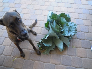 My former garden had some incredible veggies!  That's a 55 pound dog for reference!