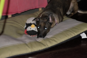 Here's a picture of a cute dog with a penguin toy, for your Monday enjoyment.