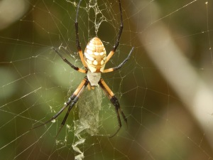 Random spider, chilling in the woods near my house.  (Not a Black Widow) Photo Credit: Doree Weller