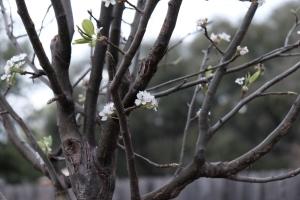 Pear tree, Texas Photo Credit: Doree Weller